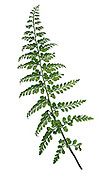 Lanceolate Spleenwort - Asplenium obovatum