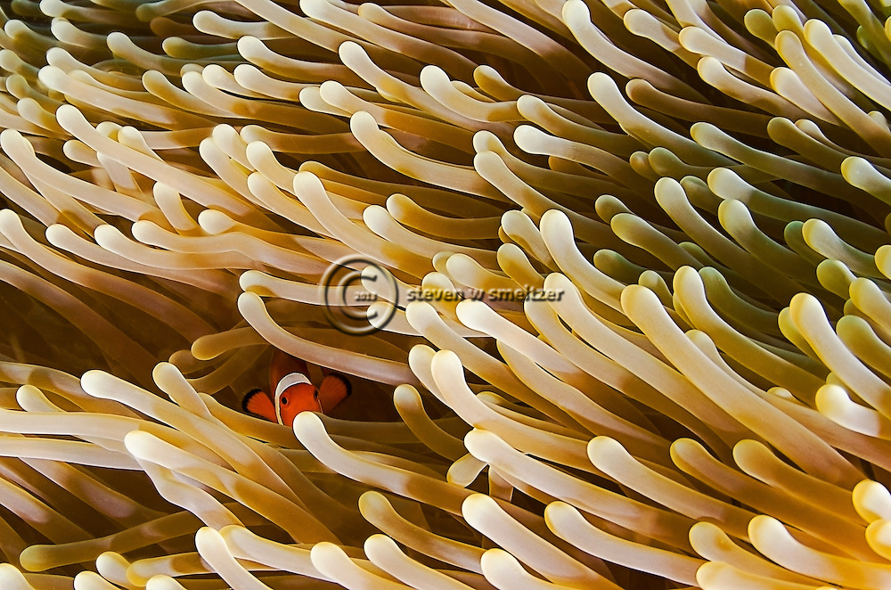 Orange Clownfish, Amphiprion percula, Bali Indonesia