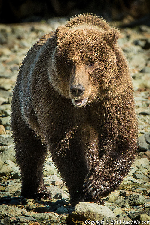 Coastal Brown Bear (Grizzly)