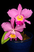 A Cattleya Laleliocattleya hybrid orchid bloomed by the photographer.  Cattleya is a genus of 113 species of orchids found from Costa Rica to tropical South America. The genus was named in 1824 by John Lindley after Sir William Cattley who was the first to bloom a specimen of Cattleya labiata. William Swainson had discovered the new plant in Pernambuco, Brazil, in 1817 and shipped it to the Glasgow Botanic Gardens for identification.  Later, Swainson requested that a few plants be sent to Cattley who was able to bloom one a full year before the plants in Glasgow. It would be another 70 years before a Cattleya would be rediscovered in the wild because of a mixup in the assumed location of the plants. <br /> <br /> Cattleya are widely known for their large, showy flowers. The flowers of the hybrids can vary in size from 2 - 6 inches (5 -15 cm). They occur in all colors except true blue and black.  Cattleya have been hybridized for more than a century.  Beeding Cattleya with Laelia produces Laleliocattleya  and results in a more elongated closed &quot;cone&quot; that gracefully opens into the full lip of the blossom.  Laelia also contributes to the intense violet shade.