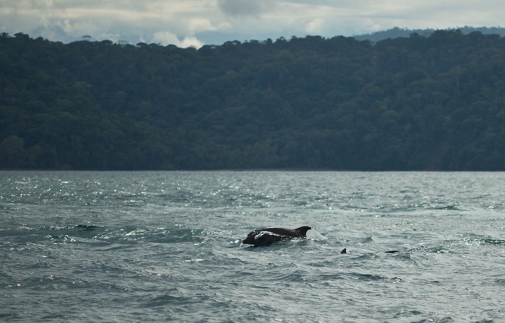Dolphins in Golfo Dulce, Osa Peninsula, Costa Rica