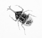 An X-ray of a large beetles. The insect is Allomyrina dichotomus tsunobosonus from Taiwan.