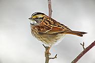White-throated Sparrow, Zonotrichia, albicollis