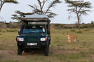 A lioness looking at a safari vehicle, Masai Mara, Kenya.