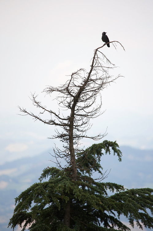 Jackdaw (Coloeus monedula) perching on top of dead Cypress, San Marino.