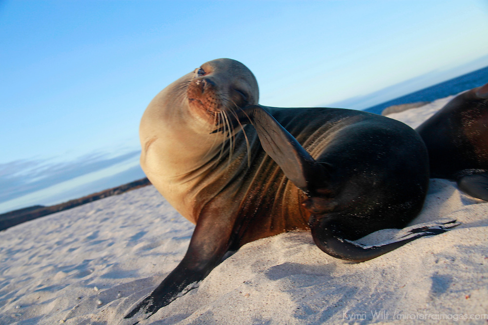 South America, Ecuador, Galapagos. Sea Lion itching head on Mosquera Island.