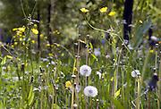 Nederkland, Ubbergen, 14-5-2012Paardebloem, boterbloem en andere veldbloemen. De pluizen zijn zaden die door de wind vervoerd worden om elders een nieuwe plant te vormen.Foto: Flip Franssen/Hollandse Hoogte