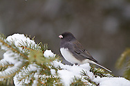 01569-01520 Dark-eyed Junco (Junco hyemalis) in spruce tree in winter, Marion Co., IL