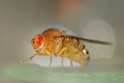 Wild Fruit Fly (Drosophila melanogaster) | Um die Taufliege (Drosophila melanogaster) zu sehen, muss man nicht nach Wien ins Labor fahren - hat man im Sommer eine überreife Banane oder Ähnliches in der Küche, ist sie, unter dem Namen Fruchtfliege bekannt, stets zur Stelle, um Nahrhaftes mit ihrem ausklappbaren Leckrüssel aufzunehmen. Aber wer würde, während er fluchend die Plage bekämpft, eine solche Schönheit und Perfektion im Detail vermuten... wild lebendes Exemplar (keine Laborfliege)