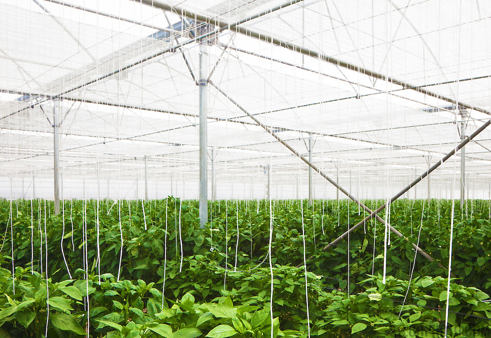 "The interior of an ""invernadero"" located in the province of Almeria, Spain. These plastic greenhouses blanket the land with plants being grown all year round for intensive vegetable production."