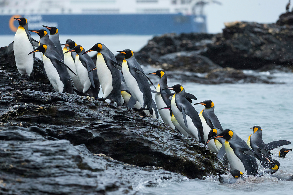 King penguins waddle up rocks from the sea during the Quark Expedition on Friday, Feb. 2, 2018 in St. Andrew's Bay, South Georgia. (Photo by Ric Tapia)