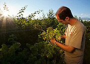 USA, Oregon, Corvallis, Oregon State University horticulture PhD student shows us golden raspberries, MR