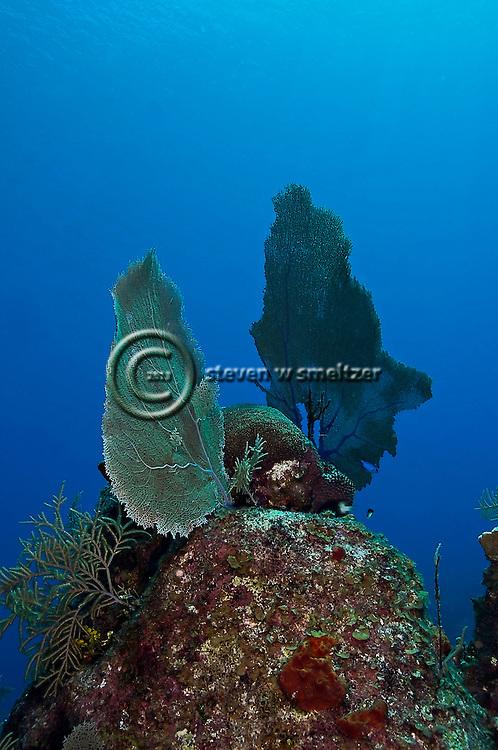 Common Sea Fan, Gorgonia ventalina, Linnaeus, 1758, Grand Cayman