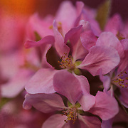 &quot;Temptation with Brocade&quot; <br />