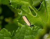 HALFWEG - insecten op de golfbaan , Blauwooggrasmot Agriphila straminella , Amsterdamse Golf Club. (AGC)  . Insecteninventarisatie  COPYRIGHT KOEN SUYK