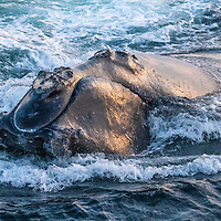 Head of a North Atlantic right whale (Eubalaena glacialis) showing callosities, pathches of roughened skin that are unique to each whale. Gulf of Saint Lawrence, Canada. IUCN Status: Endangered.