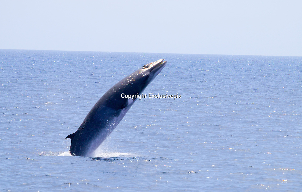 Jumping for joy! Photographer captures the jaw-dropping moment a minke whale leaps out of the water and opens its mouth<br /> <br /> A California photographer has captured a minke whale displaying some extremely rare behavior in the wild.<br /> <br /> Photographer Slater Moore was working on the Newport Beach-based Ocean Explorer whale-watching boat on Saturday when he witnessed a lone minke whale breaching off the right side of the vessel.<br /> <br /> Minke whales, which grow to be about 29-feet long, are not known to breach often in the wild, but sometimes jump out of the water in groups or to feed.<br /> <br /> However, this time the minke whale appeared to be breaching just for fun as it opened it's mouth coming out of the water and closer it before going back in.<br /> <br /> With its mouth wide open, the minke appeared very joyful as the 100 passengers watched the whale breach a total of 10 times.<br /> <br /> 'Everybody was freaking out; it was insane,' Moore told Grind TV. 'Nobody had ever seen anything like that.'<br /> <br /> The pictures were subsequently posted to Facebook where they ignited a discussion online about the whale's surprising behavior.<br /> <br /> Ursula Tscherter, a minke whale research with the Ocean Research and Education Society, told GrindTV that the pictures show an 'amazing and very peculiar' behavior.<br /> <br /> 'I am intrigued by the final little splash of water coming out of the closing mouth &hellip; lovely &hellip; and she closed it before landing,' Tscherter added. 'I don&rsquo;t think it&rsquo;s related to feeding.'<br /> &copy;Slater Moore/Exclusivepix