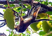 A Philippine Long-tail Macaque performs acrobatics to breakfast on a durian fruit above Monkey Beach in Puerto Galera, the Philippines