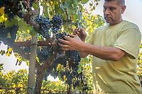 Daniel Alfaro prepares to hand harvest the last of the grapes at Marcey's Vineyard in Calistoga