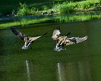 Pair of Canada Geese Landing in a Pond at the Sourland Mountain Preserve. Image taken with a Nikon D4 and 300 mm f/2.8 VR lens (ISO 100, 300 mm, f/2.8, 1/1000 sec).