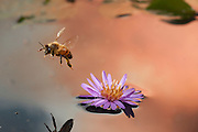 A honey bee (apis mellifera) lifts off from a small aster flower floating in a pond at sunset. Honeybees will collect pollen in late fall if the weather allows, and flowers are still to be found. © Michael Durham /www.DurmPhoto.com