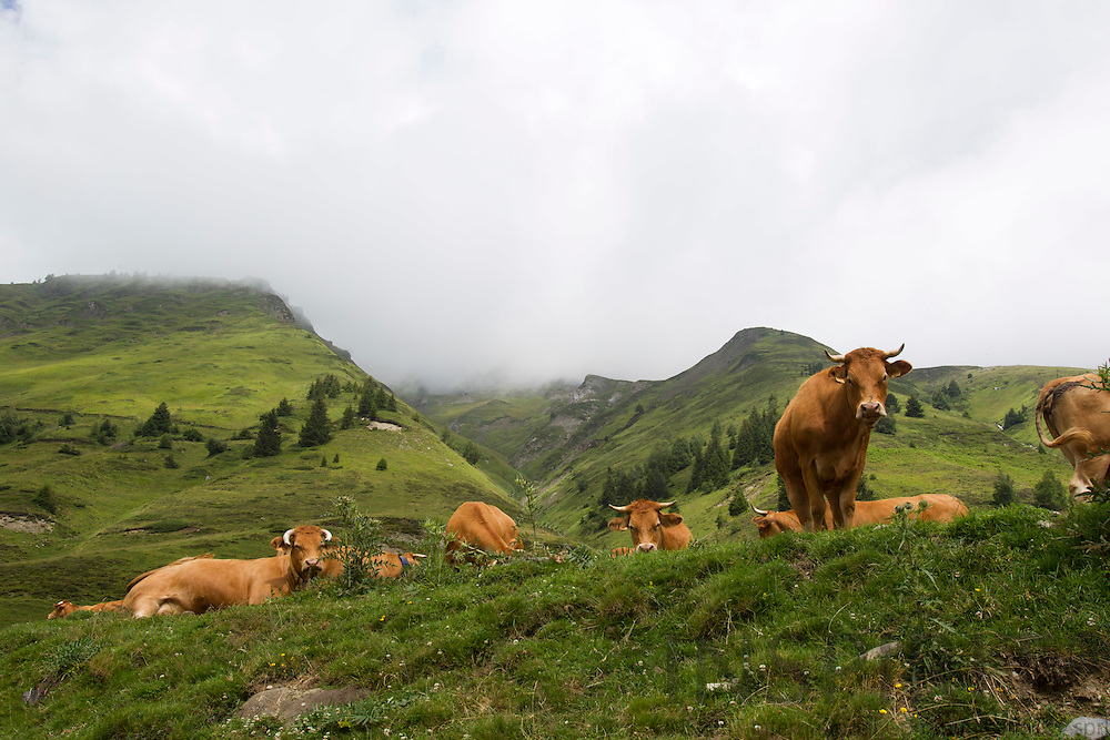 Bagnères-de-Bigorre - FRANCE - 29 JULY 2010 -- Cows in the mountains of Pyrénées National Park (Parc National des Pyrénées) in Hautes-Pyrénées and Pyrénées-Atlantiques. PHOTO: ERIK LUNTANG / INSPIRIT Photo.