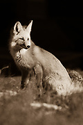 Coyote eyeing somethng up