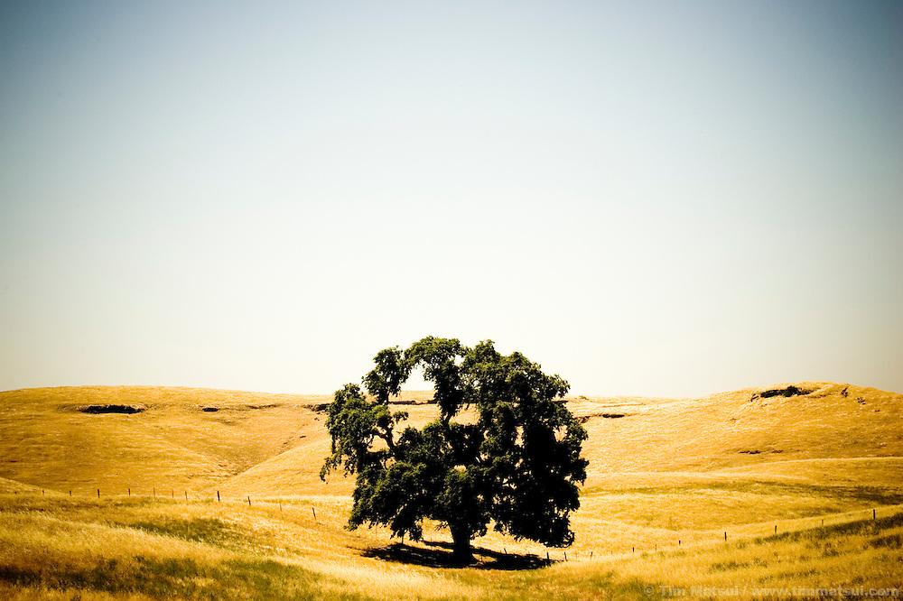 A lone oak tree in a California landscape.