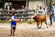 08 FEBRUARY 2014 - PHAWONG, SONGKHLA, THAILAND: Men walk their bull into the ring in rural Songkhla province, Thailand. Bullfighting is a popular past time in southern Thailand. Hat Yai is the center of Thailand's bullfighting culture. In Thai bullfights, two bulls are placed in an arena and they fight, usually by head butting each other, until one runs away or time is called. Huge amounts of mony are wagered on Thai bullfights - sometimes as much as 2,000,000 Thai Baht ($65,000 US).   PHOTO BY JACK KURTZ