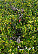 A Red-footed booby takes flight from a mangrove tree on Genovesa island, Galapagos Islands.
