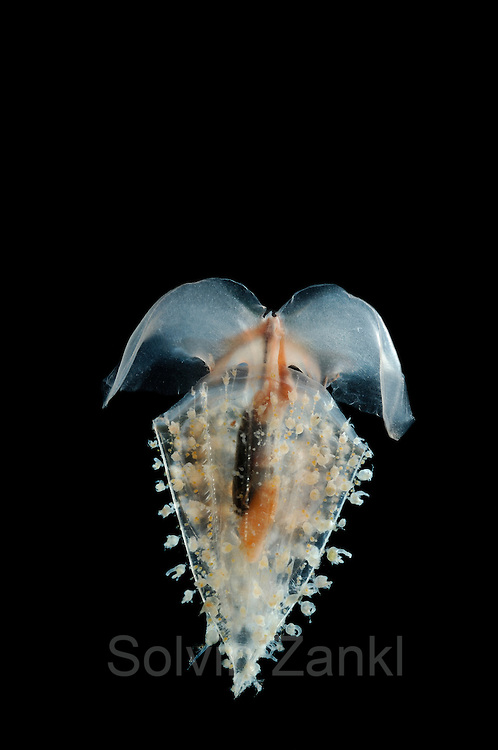 The wavy clio (Clio recurva) is also called the deep sea butterfly. This sea snail that floats free in the water belongs to the Opisthobranchia, which means that the gills are situated behind the heart. The size of the wavy clio ranges between 5 and 13 mm. [size of single organism: 13 mm] | Die frei im Wasser schwebende Nacktschnecke (Clio recurva) ist ein Hinterkiemer (die Kiemen liegen bei dieser Schneckengruppe hinter dem Herzen). Größe ca. 5 bis 13 mm.
