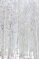 Aspen Trees in Snowstorm near Maroon Bells, White River National Forest, Colorado