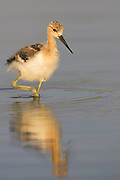 Stock photo of American Avocet Chick captured in Colorado.  Avocets usually build their nests along a dried mudflat, always near open water