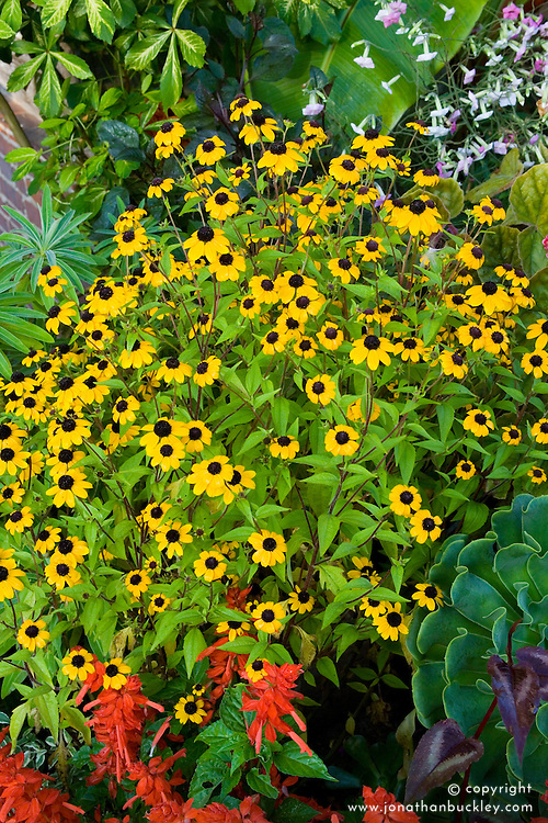 Rudbeckia triloba growing in a pot