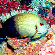 Pearl Scaled Angelfish inhabit reefs. Picture taken Puerto Galera, Philippines