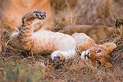 Lion<br /> Panthera leo<br /> Playful 2-3 month old cub<br /> Masai Mara Conservancy, Kenya