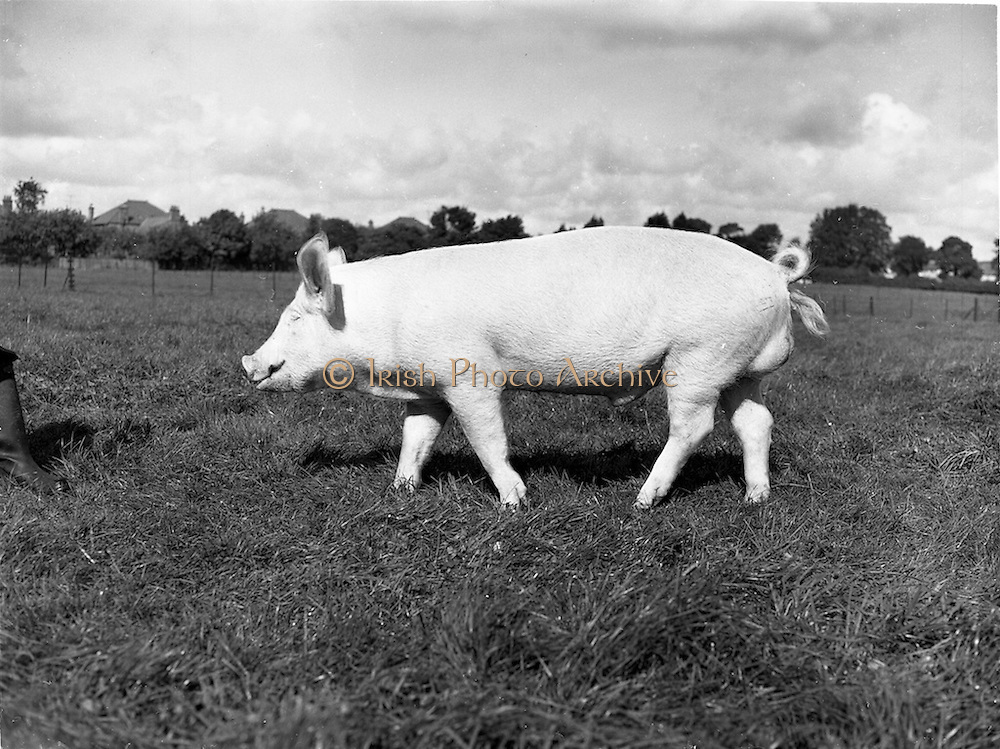 12/09/1960<br /> 09/12/1960<br /> 12 September 1960<br /> Boars at Whitehall, Drumcondra for the Department of Agriculture. Boar No. 1724.