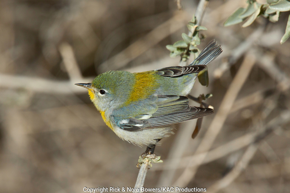 Northern Parula <br /> Parula americana <br /> Gilbert Water Ranch, Gilbert, Pinal County, Arizona, United States<br /> 15 January      First winter Female      Parulidae