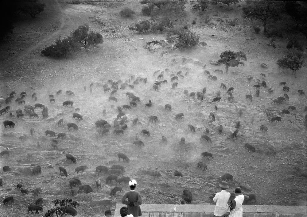 Wild Pigs, Udaipur, India, 1929