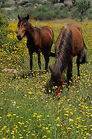 Garrano horses, Faia Brava reserve, C&ocirc;a valley,<br /> Portugal