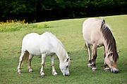 Welsh ponies grazing in Snowdonia, Gwynedd, Wales