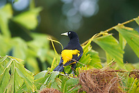 Yellow-rumped Cacique (Cacicus cela), Jardim da Amazonia Lodge, Mato Grosso, Brazil Photo by: Peter Llewellyn