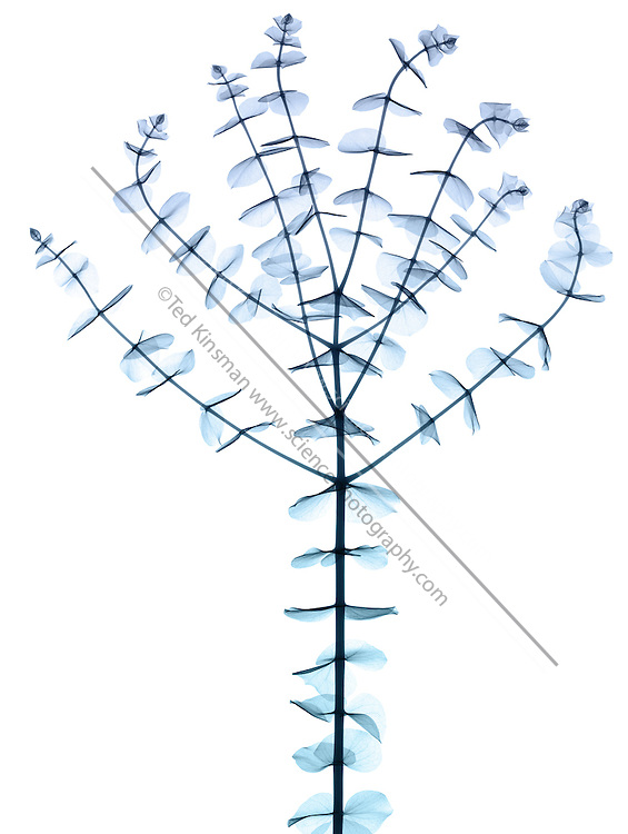X-ray of Eucalyptus cinerea 'Pendula' branch.