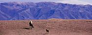 A spindly legged colt follows a Kazakh horseman toward home near the village of Chilik in the Seven Rivers Area, Kazakhstan