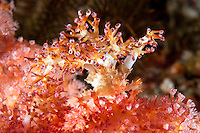 Soft Coral Crab, with soft corals attached to its head as further cover..Shot in Indonesia..