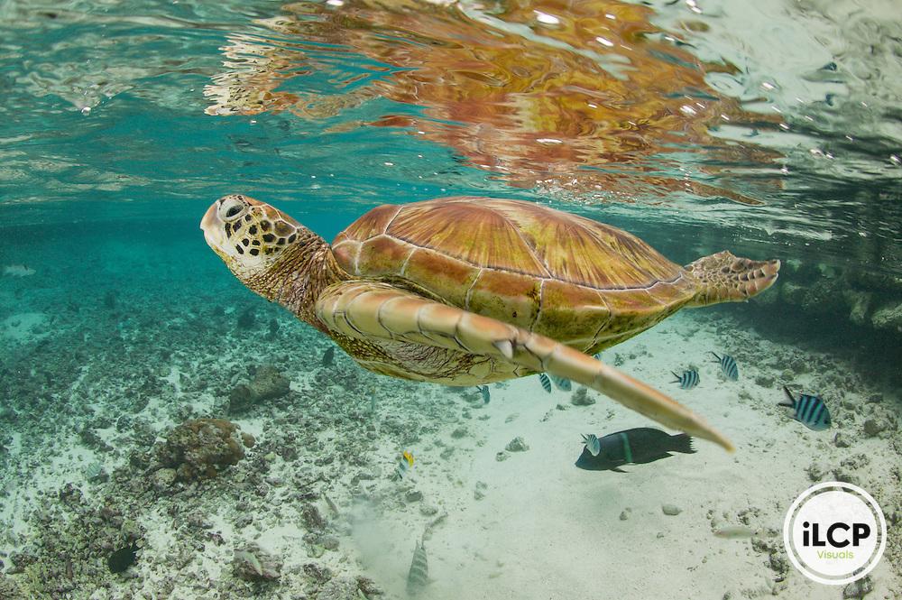 Endangered green sea turtles (Chelonia mydas) in large lagoon at The Turtle Center.  Le Meridien Resort, Bora Bora, Society Islands, French Polynesia