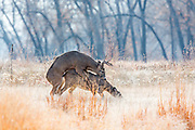 Whitetailed deer mating in open habitat