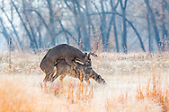 Whitetailed deer mating in open habitat