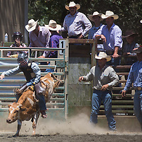 A cowboy rides a bull just after the gate is opened at the 62nd Annual Woodside Junior Rodeo.