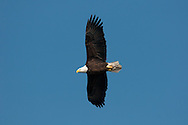 Bald Eagle in flight over Chemung River